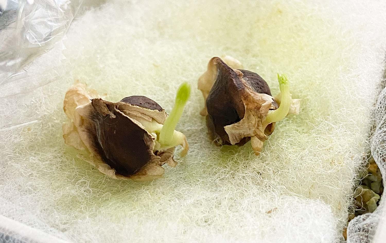 モリンガを育てるのファーストタッチ、種を撒く