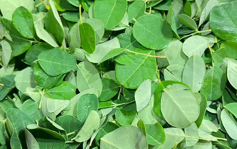 モリンガの生葉